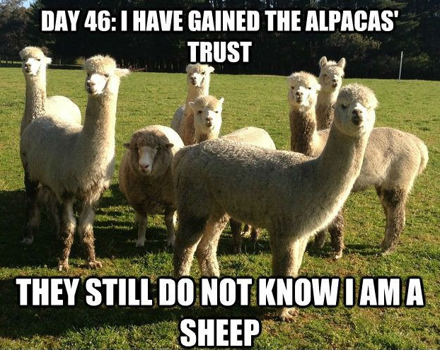 Day 46: I have gained the alpacas' trust. They still do not know I am a sheep